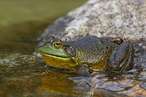 bullfrog_sm